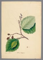 Plate 9. Oregon Alder (Alnus oregona)