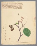Plate 10. Thin Leaved Alder (Alnus tenuifolia)
