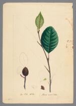 Plate 10 (bis). Sea-Side Alder (Alnus maritima)