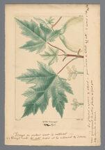 """Sample colored engraving of Acer eriocarpum from François André Michaux's """"Histoire des Arbres Forestiers de l'Amerique Septentrionale,"""" Vol. 2, Pl. 13 (opp. page 278), Paris: L. Haussmann, 1813"""