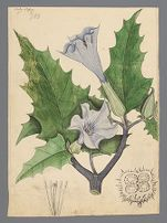 Datura stramonium (Thorn apple) original illustration, before 1817