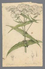 Eupatorium perfoliatum (Thorough wort) original illustration, before 1817