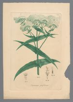 Eupatorium perfoliatum (Thorough wort) printed plate, before 1817