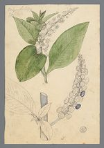 Phytolacca decandra [Phytolacca americana] (Poke) original illustration, before 1817