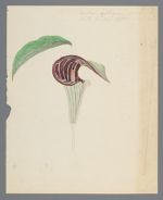 Arum triphyllum [Arisaema triphyllum] (Dragon root) original illustration, before 1817