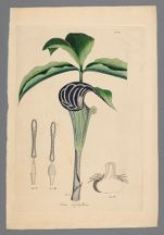 Arum triphyllum [Arisaema triphyllum] (Dragon root) printed plate with pencil sketch on back, before 1817