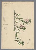 Arbustus uva ursi [Arctostaphylos uva-ursi] (Bear berry) original illustration, before 1817