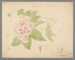 Kalmia latifolia (Mountain laurel) original illustration, before 1817