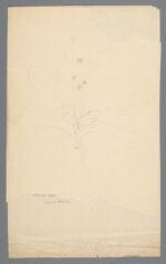 Pencil sketch, possibly of Laurus sassafras [Sassafras albidum] (Sassafras tree), before 1817
