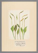 Ophioglossum vulgatum L. var. pseudopodum (Blake) Farw.
