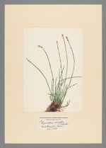 Equisetum variegatum Schleicher, 1899 June