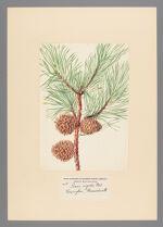 Pinus rigida Mill