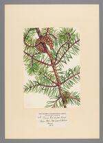 Pinus banksiana Lamb, 1905 March 26