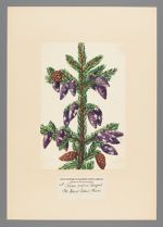 Picea rubens Sargent