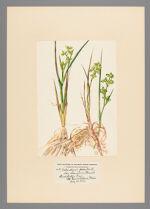 Scheuchgeria palustris var. americana Fernald, 1923 July 31