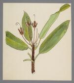 Rhododendron maximum (Great Laurel)
