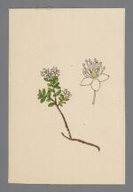 Leiophyllum buxifollium (Sand Myrtle)