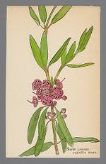 Kalmia angustifolia (Sheep Laurel)