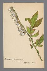 Leucothoe racemosa (Swamp Leucothoe, Fetterbush)