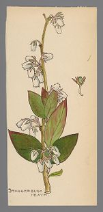 Lyonia mariana (Stagger bush)