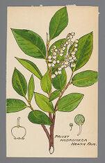Lyonia ligustrina (Privet Andromeda, Maleberry)