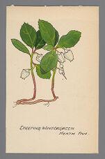 [Gaultheria procumbens] (Creeping Wintergreen)