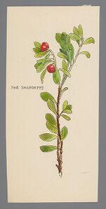 Arctostaphylos uva-ursi [Arctostaphylos rubra] (Red Bearberry)