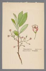 Gaylussacia frondosa (Tangleberry, Blue Huckleberry)