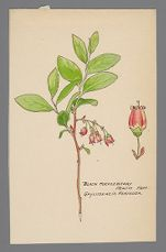Gaylussacia resinosa (Black Huckleberry)