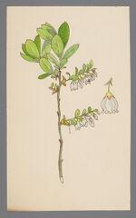 Gaylussacia dumosa (Dwarf Huckleberry)