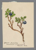 Vaccinium uliginosum (Great Bilberry)