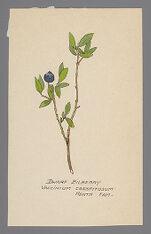 Vaccinium caespitosum (Dwarf Bilberry)