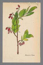 Vaccinium pennsylvanicum (Lowbush Blueberry)
