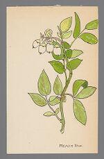 [Vaccinium corymbosum] (Highbush Blueberry)