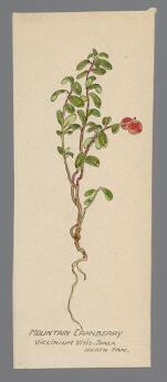Viccinium vitis-idaea [Vaccinium vitis-idaea] (Mountain Cranberry)