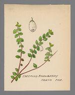 Gaultheria hispidula (Creeping Snowberry)