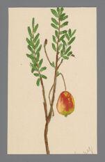 Vaccinium macrocarpon (American Cranberry)