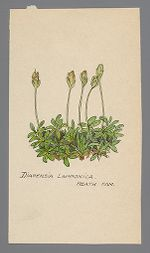 Diapensia lapponica (Pincushion Plant)