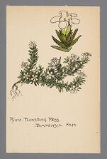 Pyxidanthera barbulata (Pixie Flowering Moss)