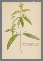 Steironema lanceolatum (Lance-Leaved Loosestrife)