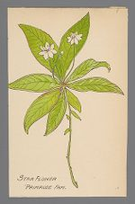 Trientalis borealis (Star Flower)