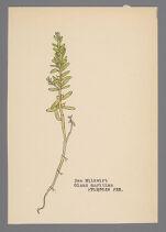 Glaux maritima (Sea Milkwort)