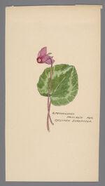 Cyclamen europaeum (Alpenveilchen)