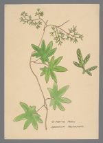 Lygodium palmatum (Climbing Fern)