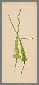 Asplenium rhizophyllum (Walking Fern)