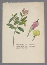 Polygala californica (California Milkwort)