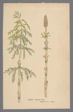 Equisetum sylvaticum (Wood Horsetail)