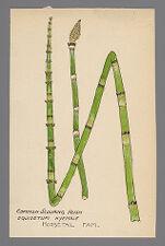 Equisetum hyemale (Common Scouring Rush)
