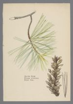 Pinus strobus (White Pine) - Virginia Trip