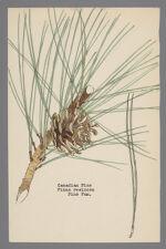 Pinus resinosa (Canadian Pine)